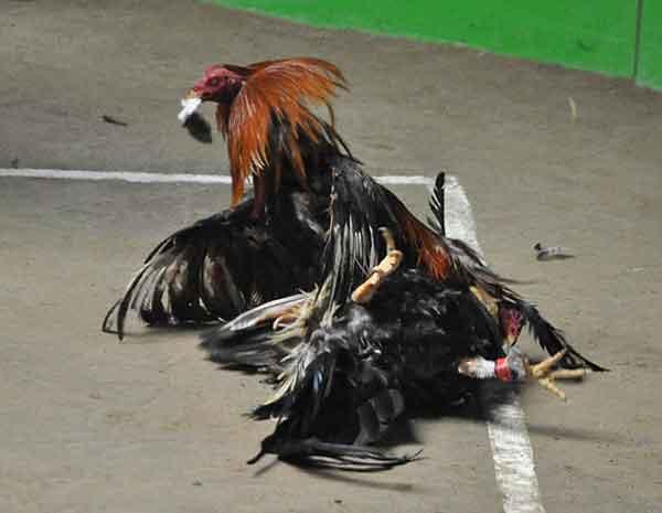 mental ayam aduan, cara, tips, tingkatkan mental, ayam aduan, ayam petarung, ayam bangkok, botoh tua, kandang, jamu, pakan, abar, latihan