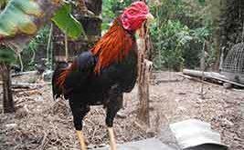 cara, ayam bangkok lebih ganas, ayam aduan, ayam petarung, ayam bangkok, katuranggan, latihan, melatih ayam aduan, tips, cara ampuh
