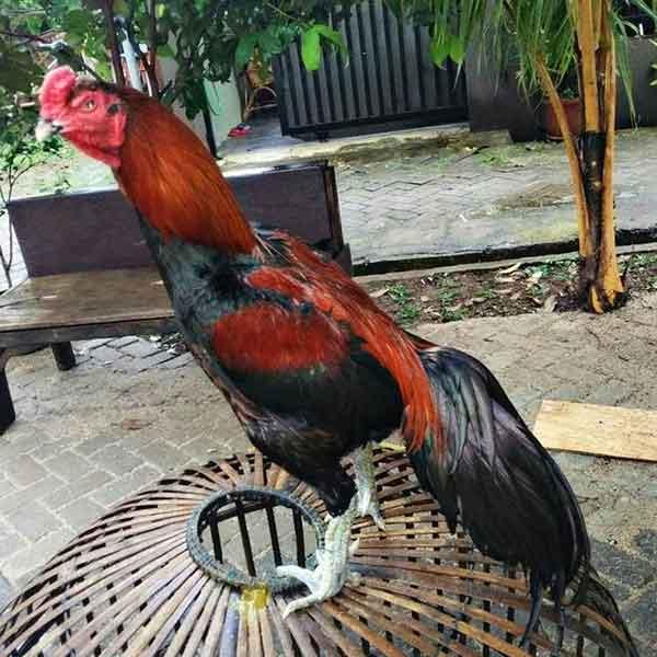 bentuk ekor ayam, ayam bangkok, ayam petarung, ayam aduan, ayam bangkok juara, ekor, tulang ekor, bentuk, ciri khas, katuranggan