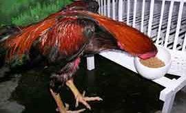 nafsu makan ayam, ayam aduan, ayam petarung, ayam bangkok, tips, cara meningkatkan nafsu makan, kencur, temulawak, daun pepaya, terasi, ubi, minyak ikan