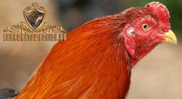 merawat bulu ayam, ayam aduan, ayam bangkok, tips, cara, bulu, vitamin, suplemen
