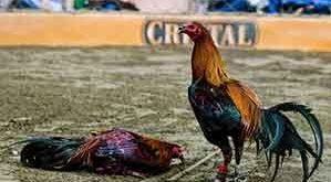 ciri, ayam aduan, pukul keras, mematikan, ayam bangkok, ayam petarung, katuranggan, botoh tua, fisik ayam, sisik kaki