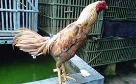 ciri khas, kelebihan, ayam aduan, ayam petarung, bangkok mathai, mathai, ayam birma, katuranggan, botoh tua