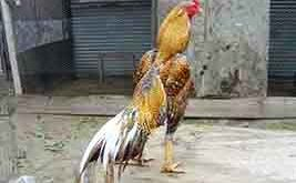 kehebatan ayam bangkok, jali, blirik, jali blirik, katuranggan, bulu ayam bangkok, warna bulu, ayam aduan, ayam petarung, ayam bangkok