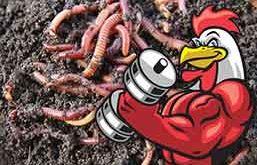 penambah tenaga ayam, ayam aduan, ayam bangkok, ayam petarung, makanan, pakan, suplemen, botoh tua, belut, cacing tanah, udang, udang rebon