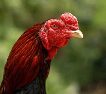 perawatan paruh ayam, ayma aduan, ayam bangkok, ayam petarung, patukan, paruh, gigitan, teknik ngunci