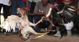 jenis ayam birma, berkualitas, unggulan, katuranggan, jenis, magon, saigon, birma, ayam aduan, ayam petarung, ayam bangkok, makhoy, mathai