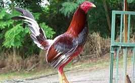 ayam spanyol, ayam aduan, ayam petarung, filipina, kelso, kelebihan, ciri khas