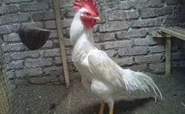 ayam bangkok putih, kinantan, ayam petarung, ayam aduan, ciri khas, katuranggan, kelebihan