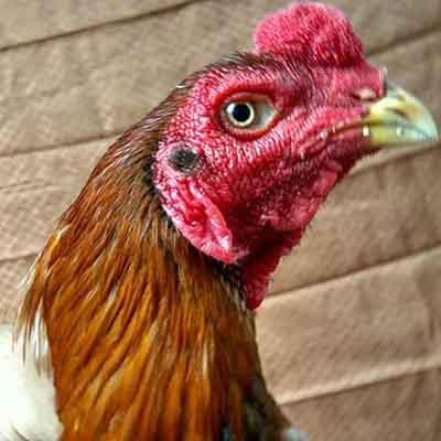 ciri ayam bangkok asli, ayam bangkok, ayam aduan, ayam petarung, ciri khas