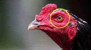 jenis, ciri khas, kelebihan, mata ayam aduan, ayam petarung, ayam bangkok, ayam birma, ayam saigon, katuranggan, mata api, mata jalak, mata gagak, mata raja