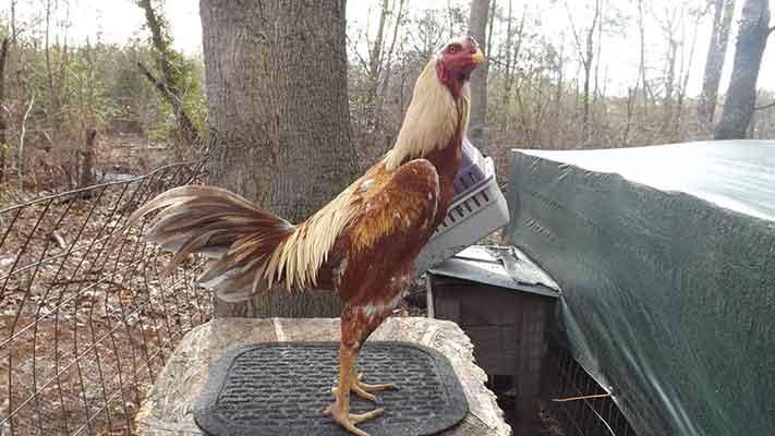 kelebihan, keunggulan, ayam aduan brazil, ayam bangkok, ayam petarung, ayam aduan, kelebihan, ciri khas