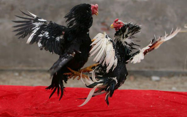 ayam aduan, ayam bangkok, pukul terbang, teknik bertarung, teknik, gaya bertarung, kelebihan, katuranggan