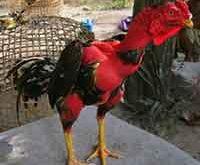 kelebihan ayam saigon, ayam aduan, ayam petarung, ayam bangkok, vietnam, saigon, tulang besar, pukul terbang