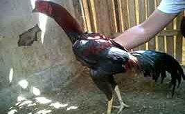 tips, cara, memastikan, kondisi terbaik ayam bangkok, ayam aduan, ayam petarung