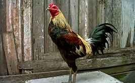 ciri khas ayam birma, ayam aduan, ayam petarung, ayam bangkok, katuranggan, myanmar, ayam bangkok