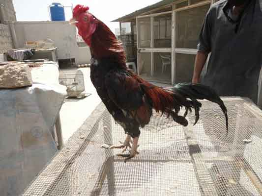 jenis ayam aseel, ayam asil, ayam aduan, ayam petarung, pakistan, ayam india, ayam pakistan, perbatasan, kelebihan, amroha aseel