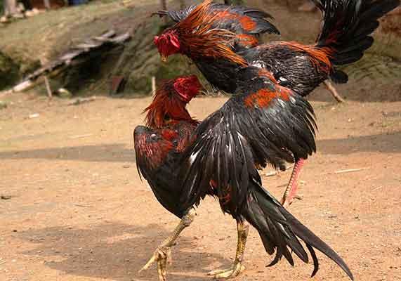 teknik ayam aduan, pukulan, teknik, beruntun, janggut, dongkrak, pukulan satu, pukulan seri, ayam birma, ayam bangkok