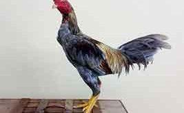 tips, cara, perawatan untuk ayam birma, ayam aduan, ayam birma, ayam bangkok, ayam petarung, botoh tua