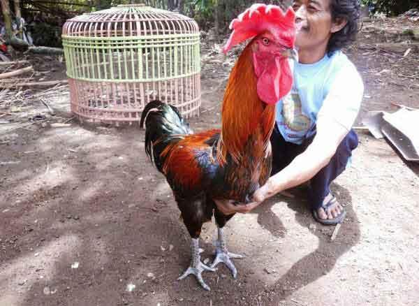 ayam aduan indonesia, ayam pelung, ayam bangkok, ayam petarung, ayam aduan, ayam bangkok, ciri khas, kelebihan, ayam pelung, pelung, jawa, katuranggan
