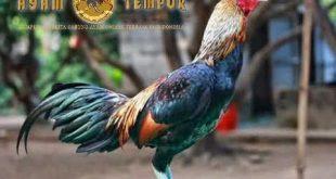 gaya bertarung ayam bangkok birma, ciri ayam birma, ciri khas ayam birma