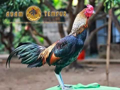 gaya bertarung ayam bangkok birma asli, ciri khas ayam birma asli