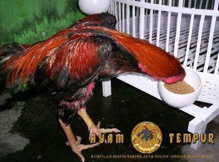 manfaat tempe untuk ayam aduan