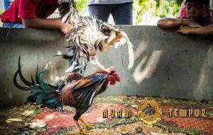 Pukulan ayam yang mematikan, pukulan kepala